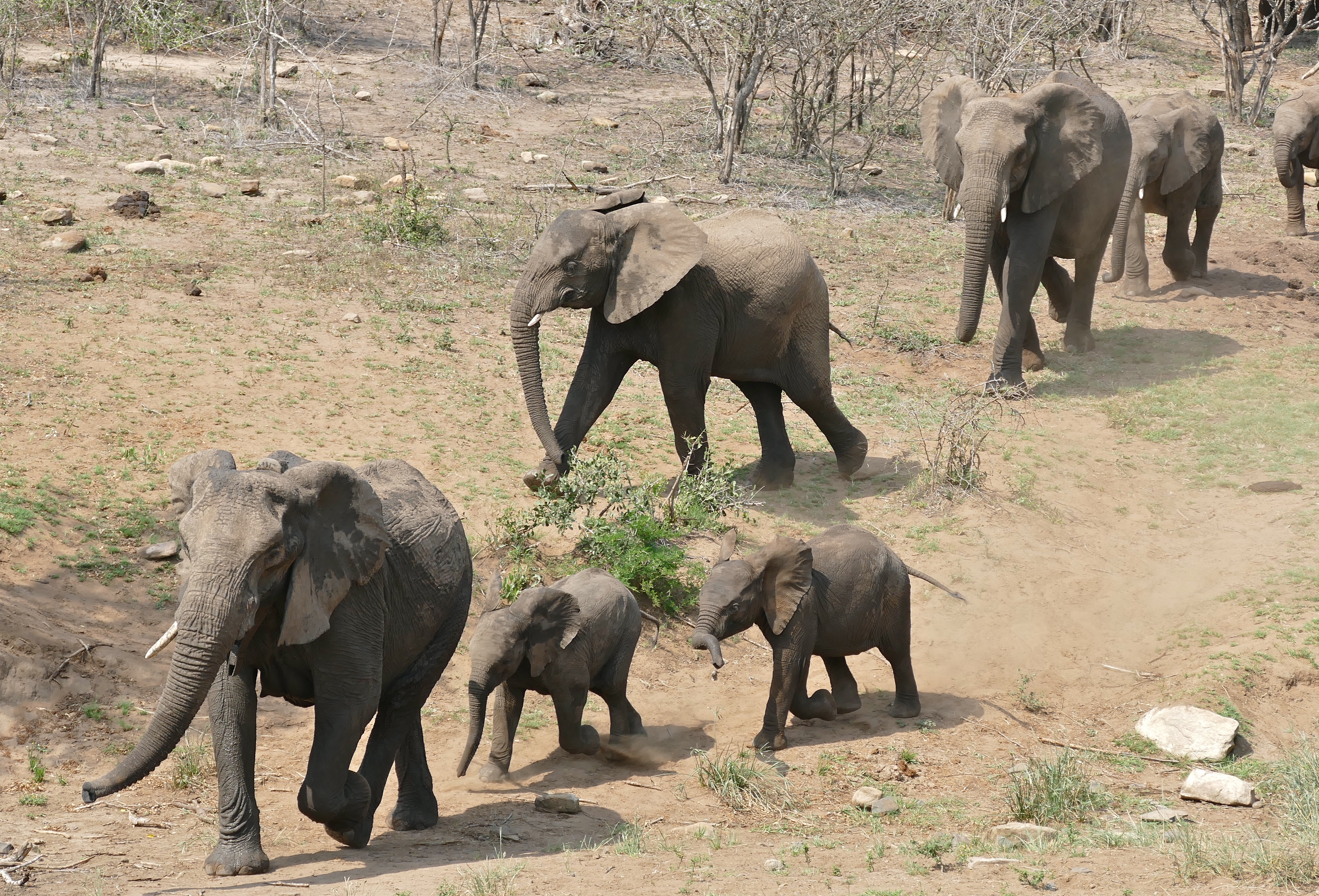 African Elephants (Loxodonta africana) coming to the waterhole, led by collared female ... (31463745824)