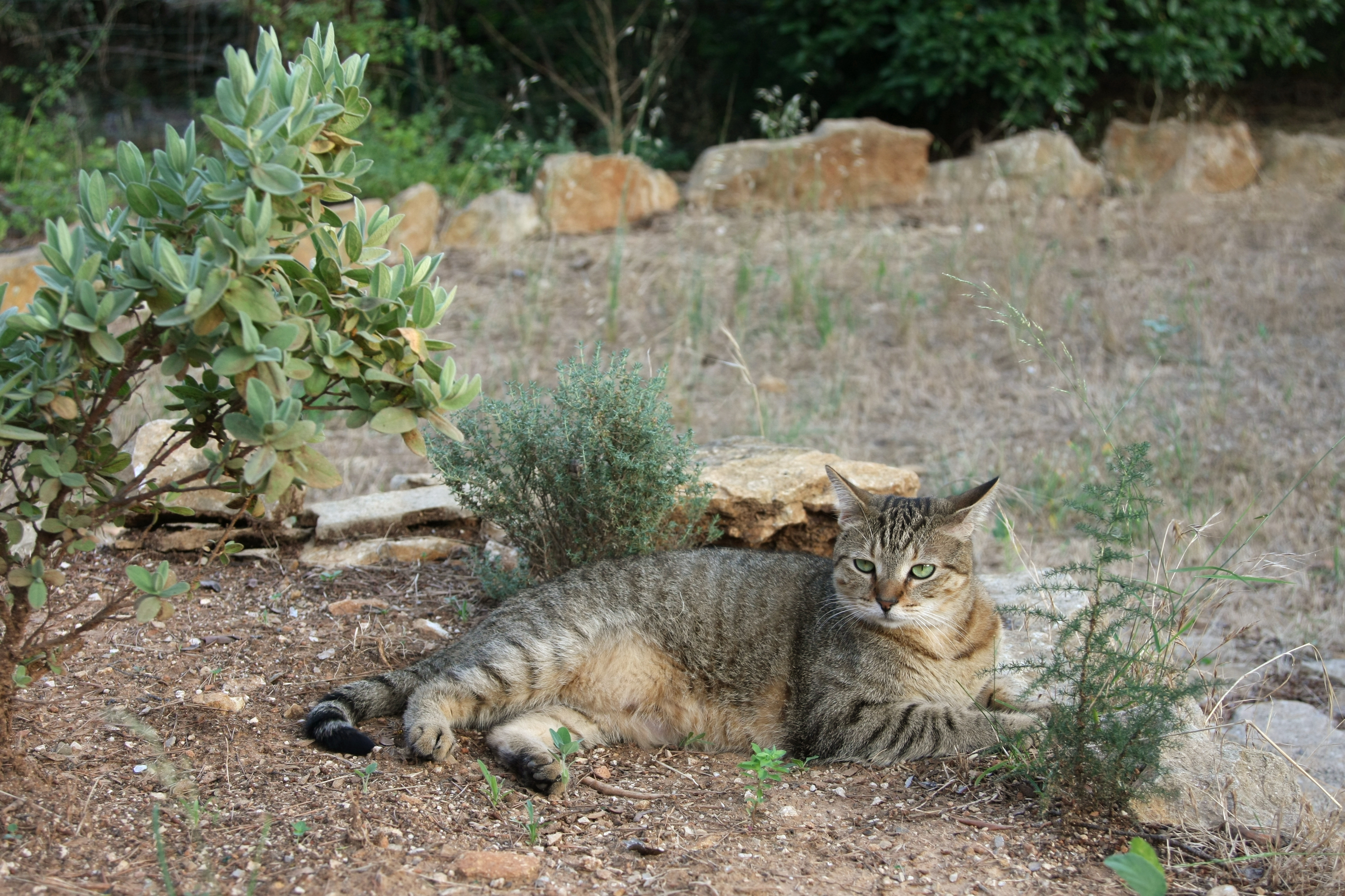 American shorthair in french garden