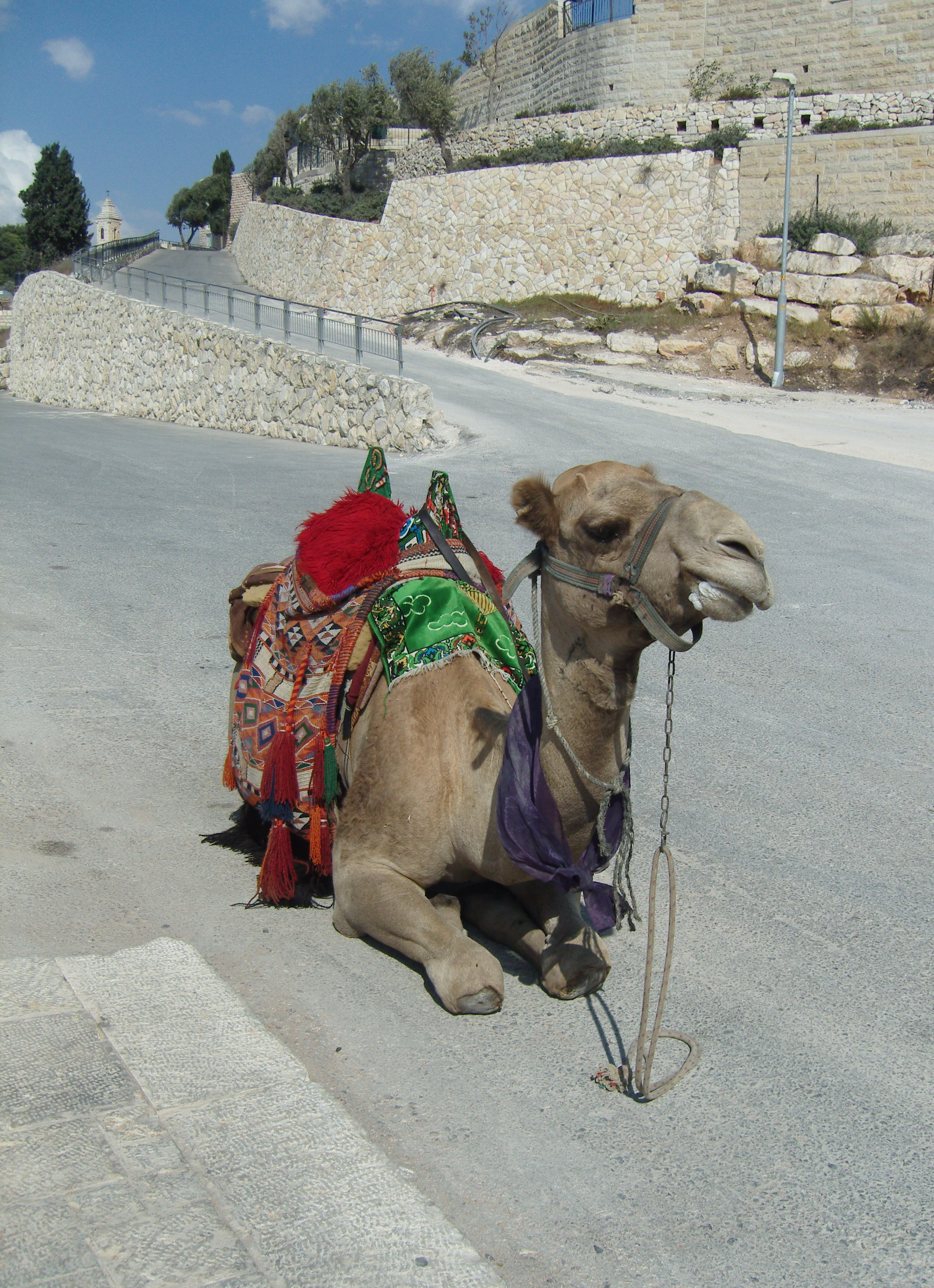 Camel mount of olives