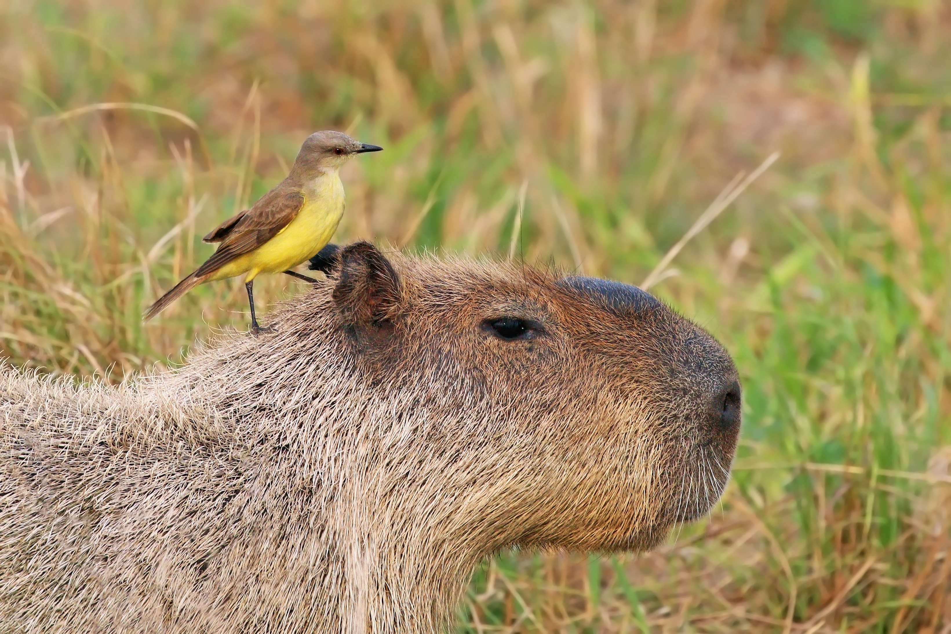 Cattle tyrant (Machetornis rixosa) on capybara