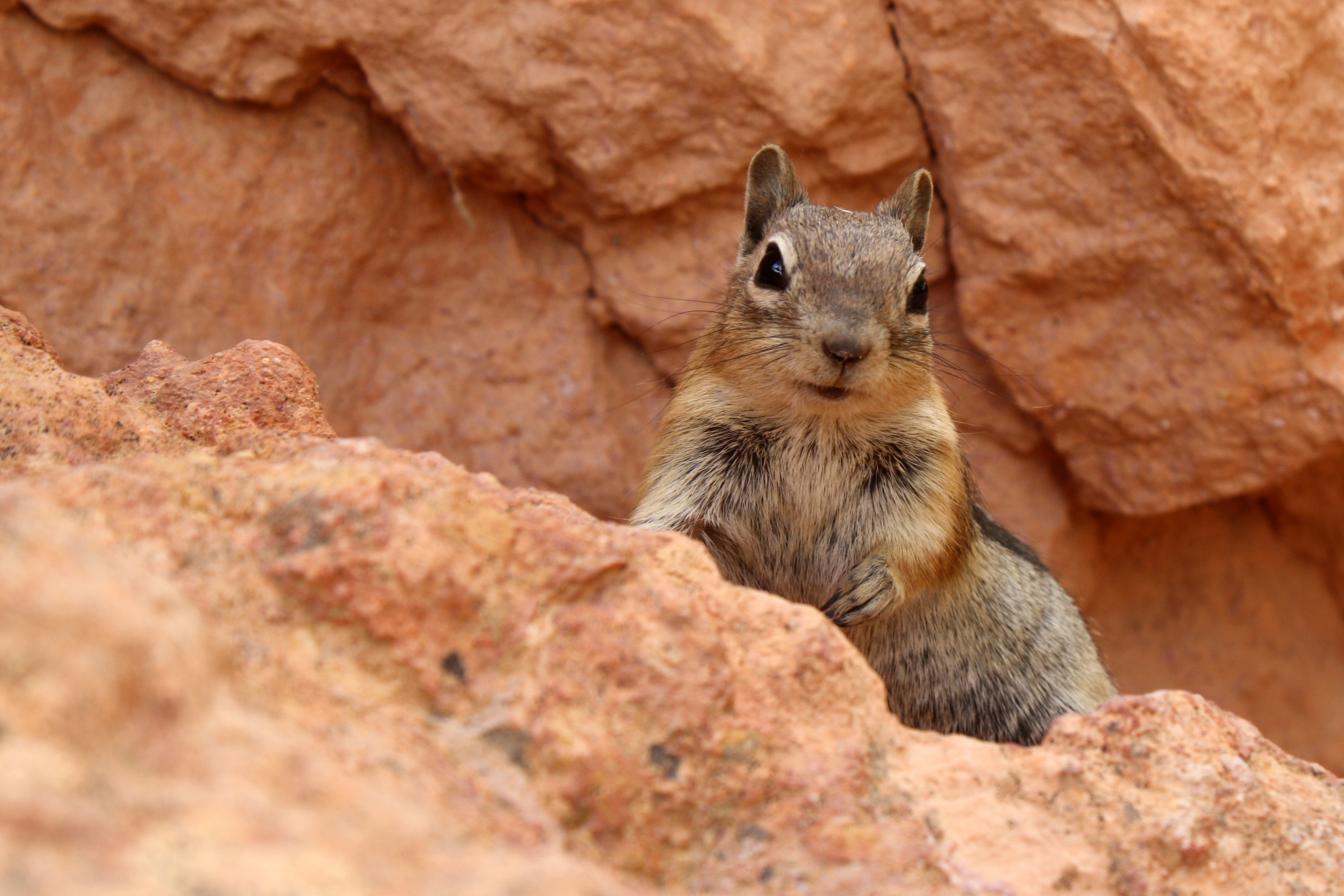 Golden-Mantled Ground Squirrel - Bryce Canyon National Park