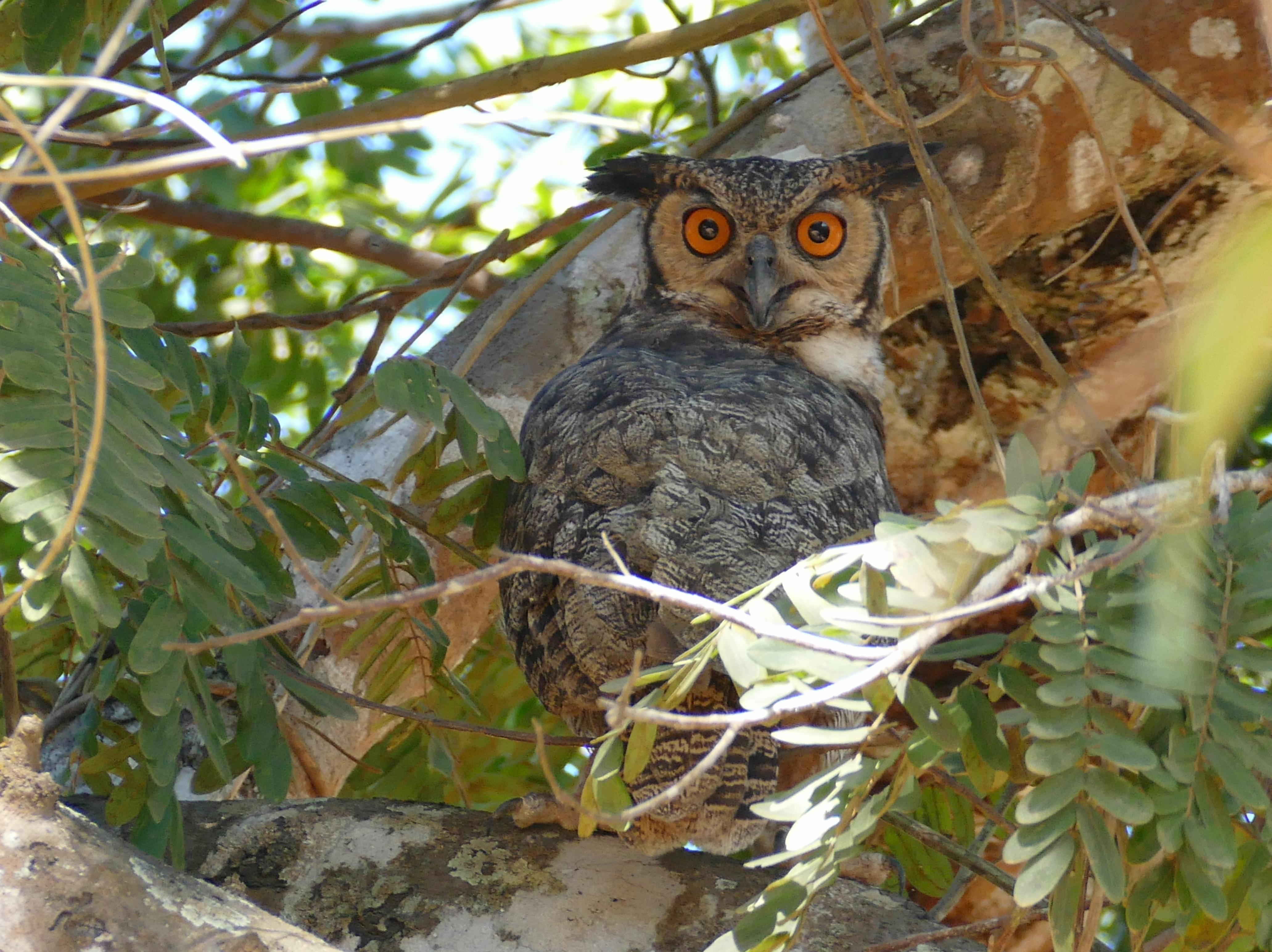 Great Horned Owl (Bubo virginianus) (28119936012)