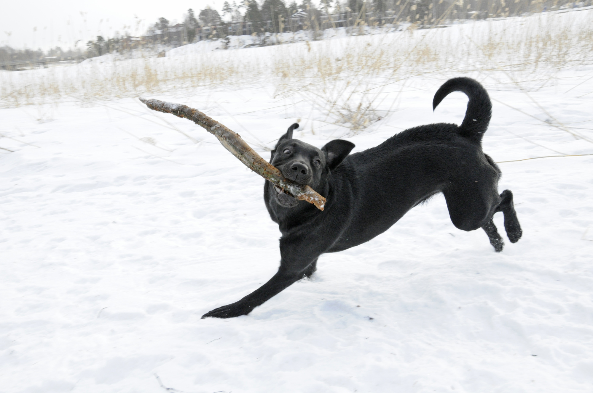 Labrador retriever playing with a stick in snow