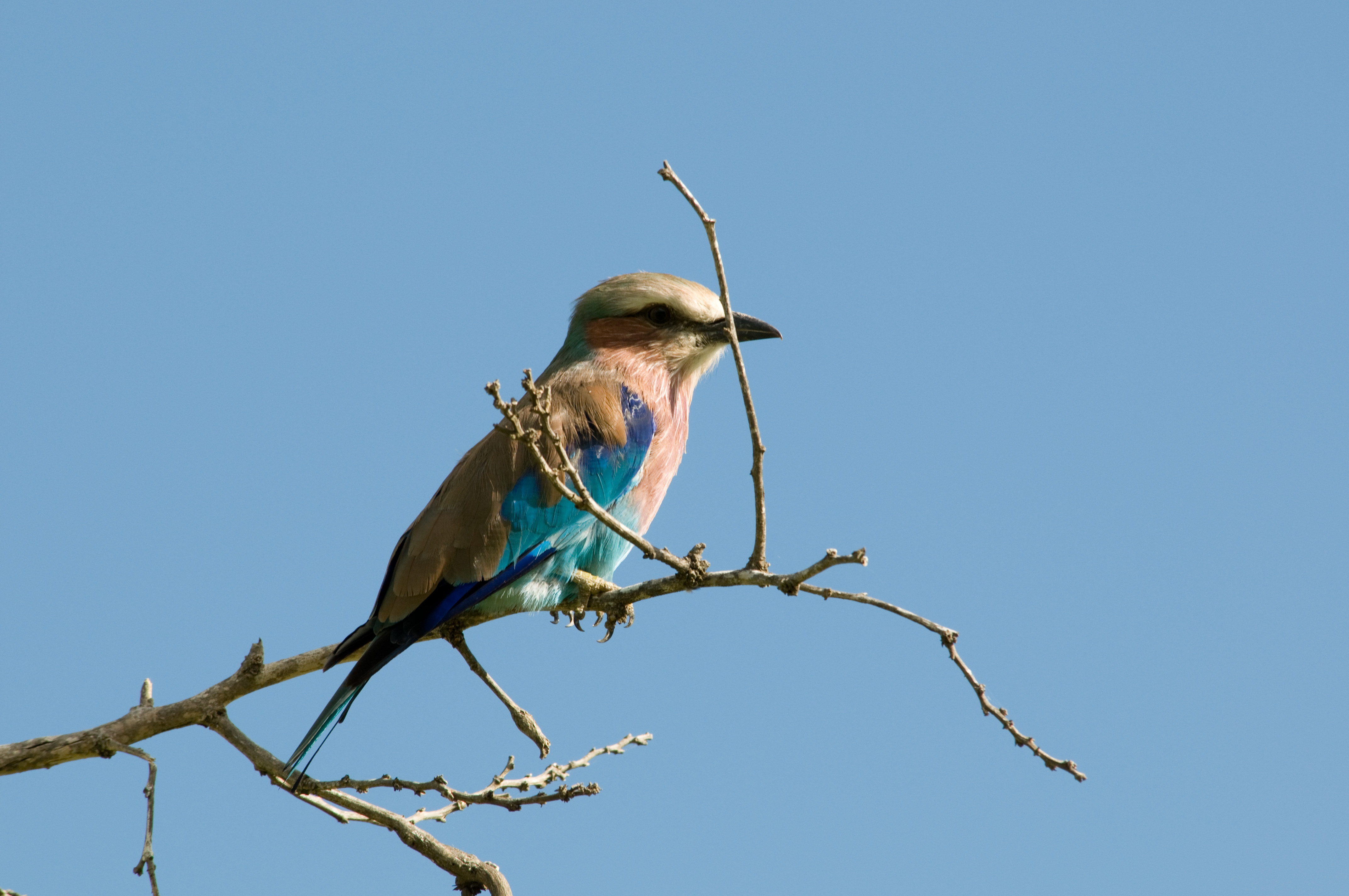 Lilac-breasted Roller 2355681774