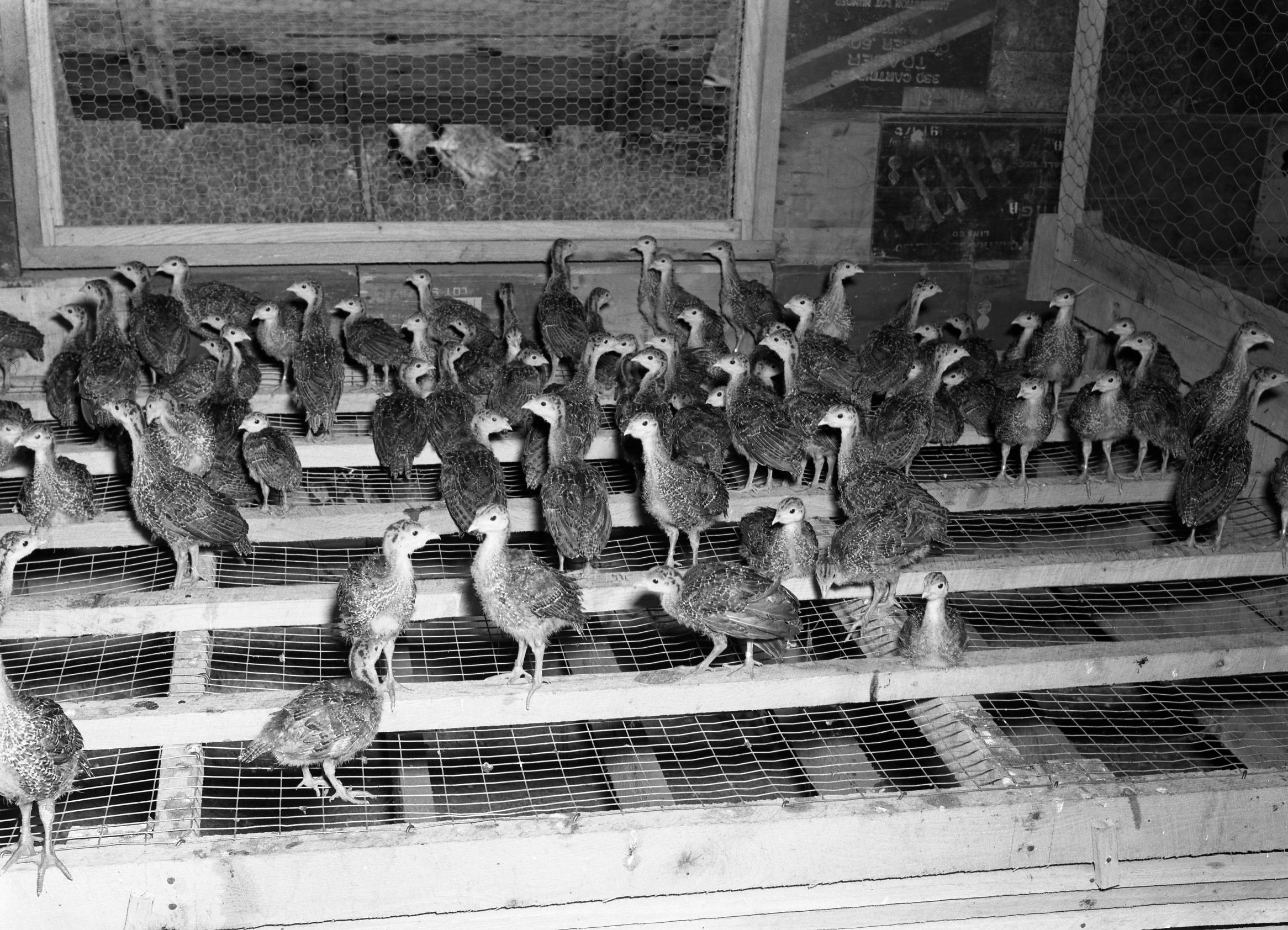 Poults on Roost (Missouri State Archives) (8203218457)