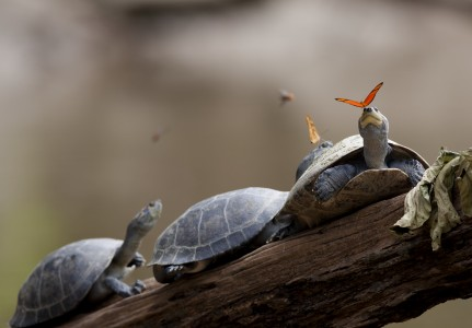 A butterfly feeding on the tears of a turtle in Ecuador (crop)