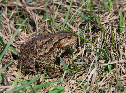 a frog in Lviv region of Ukraine in March 2014, picture 1/2