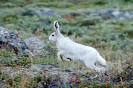 Arctic Hare in Greenland