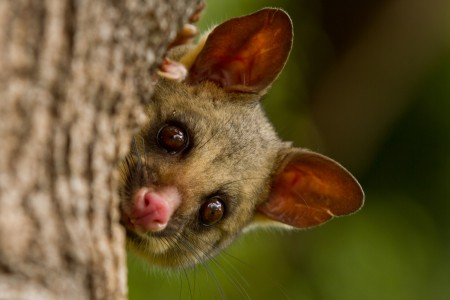 Brushtail Possum IMG 5017