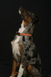 Catahoula Leopard Hound Dog