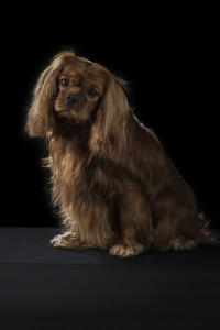 Ch Jewelcroft's Going Concern CGN CD RA - Ruby Cavalier King Charles Spaniel