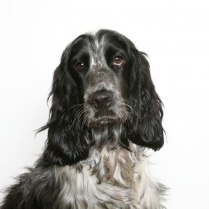 English Cocker Spaniel black portrait