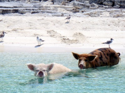 Pigs and gulls on the beach
