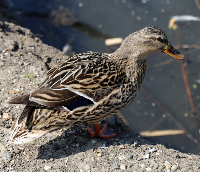 A duck at Fishers Green, Lee Valley, Waltham Abbey, Essex, England 01