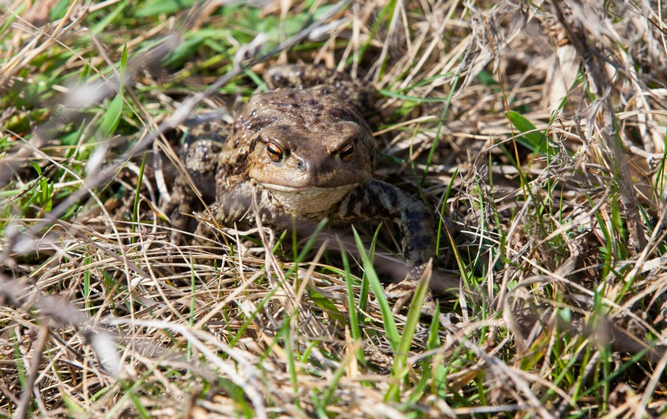 a frog in Lviv region of Ukraine in March 2014, picture 2/2