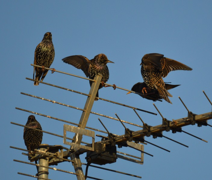 A Starlings rough and tumble (11550999483)