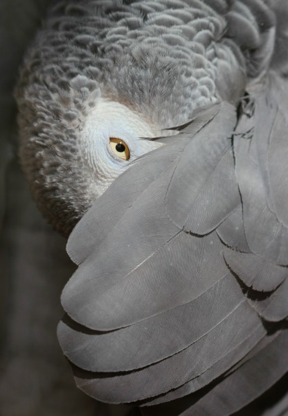 African Grey Parrot, peeking out from under its wing - edit