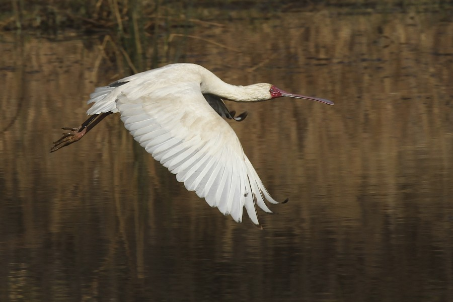 African Spoonbill-001