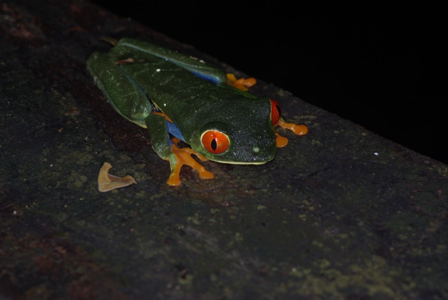 Agalychnis callidryas at night