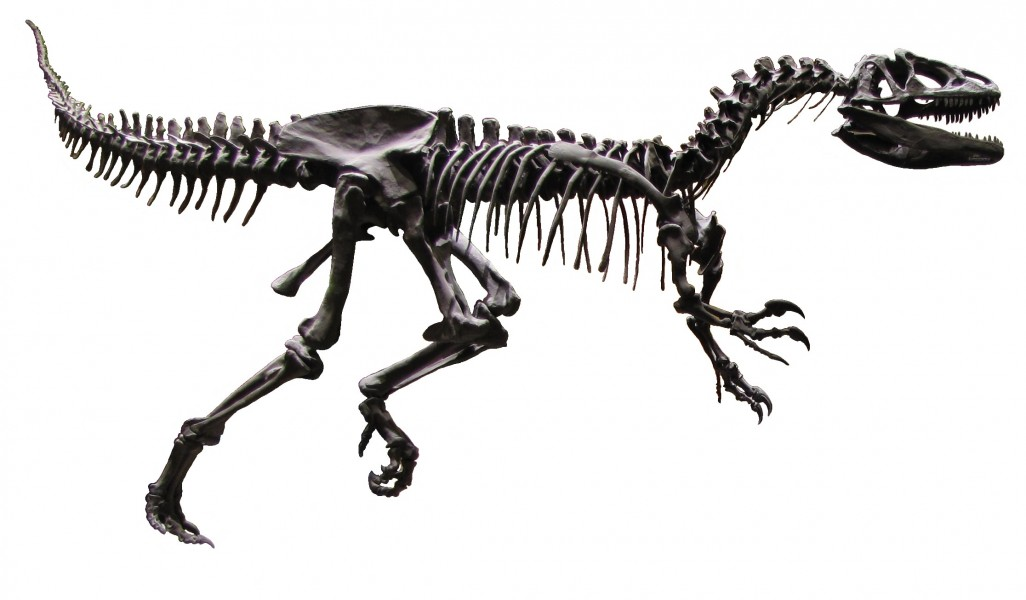 Allosaurus AMNH White Background