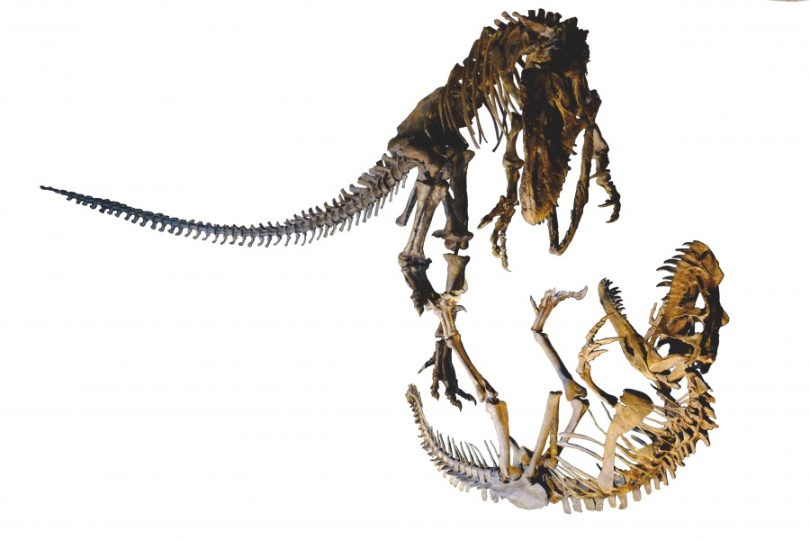 Allosaurus fighting Ceratosaurus white background