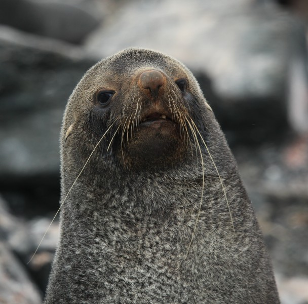 Antarctic Fur Seal at Point Wild, Elephant Island