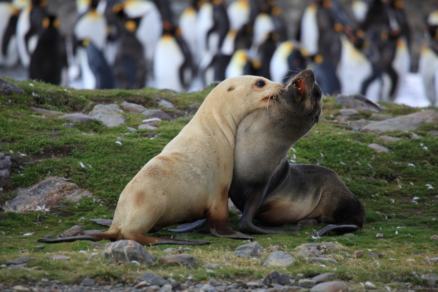 Antarctic Fur Seals fighting (5810832994)