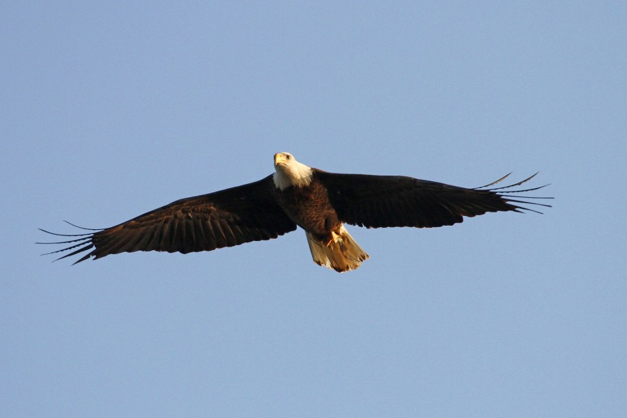 Bald Eagle - Haliaeetus leucocephalus, Conowingo Dam, Darlington, Maryland - 31163830976