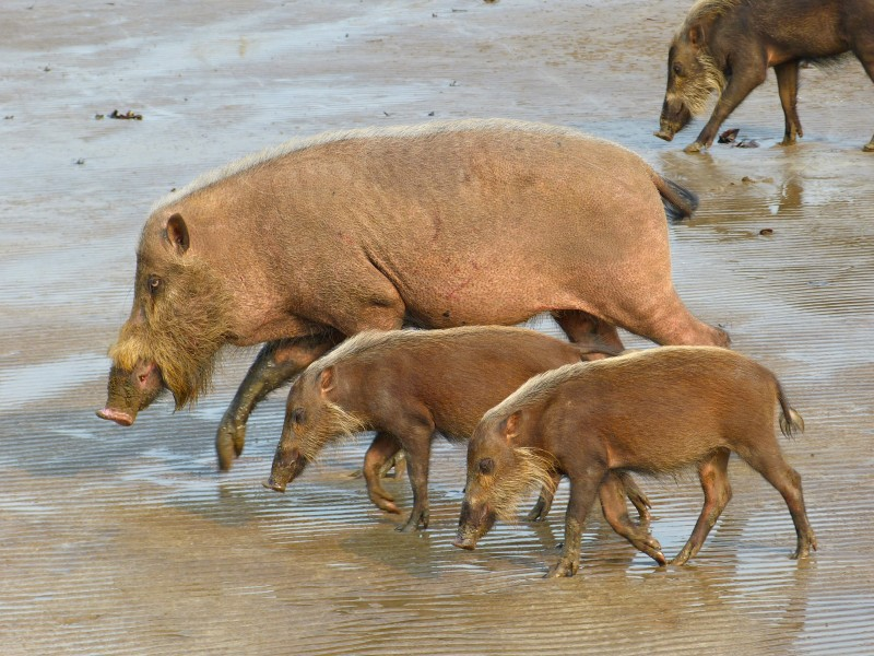 Bearded Pigs (Sus barbatus) female with youngs (8220051061)