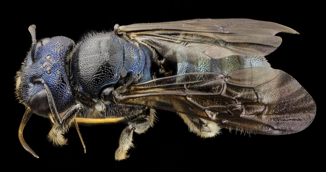 Bee ceratina monster, f, ukraine, side 2014-08-09-12.48.23 ZS PMax (15068819051)
