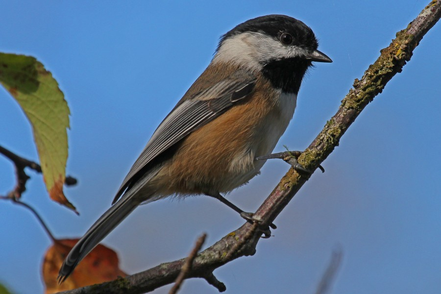 Black-capped Chickadee, Reifel Refuge, Vancouver, British Columbia