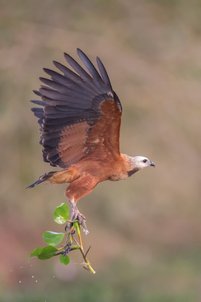 Black-collared Hawk Mato Grosso(Brazil)