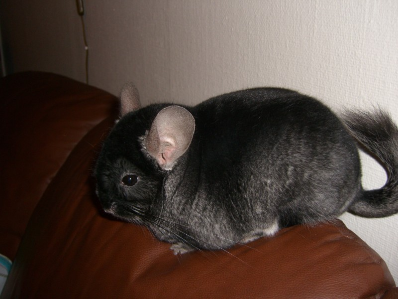 Black velvet chinchilla