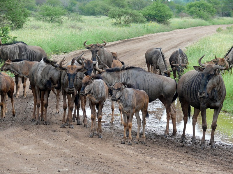 Blue Wildebeests (Connochaetes taurinus) (6041198119)