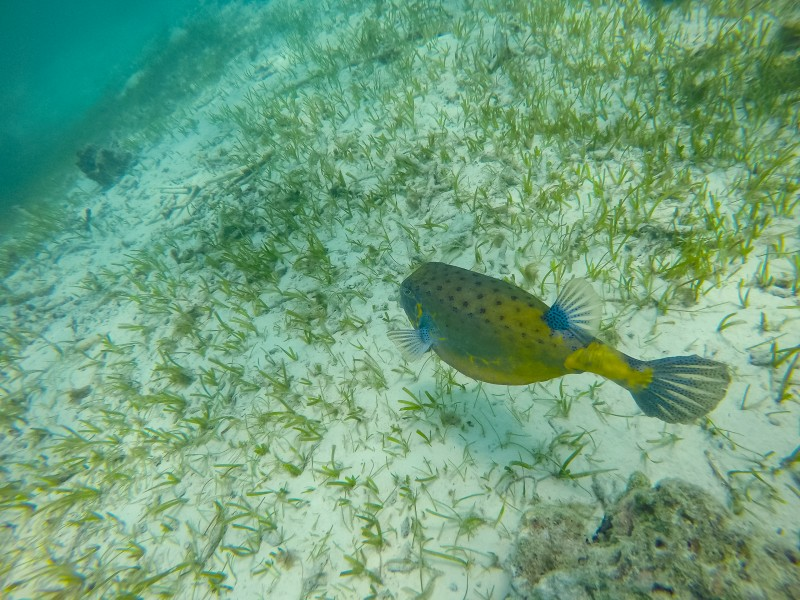 Boxfish Maledives (29534691391)