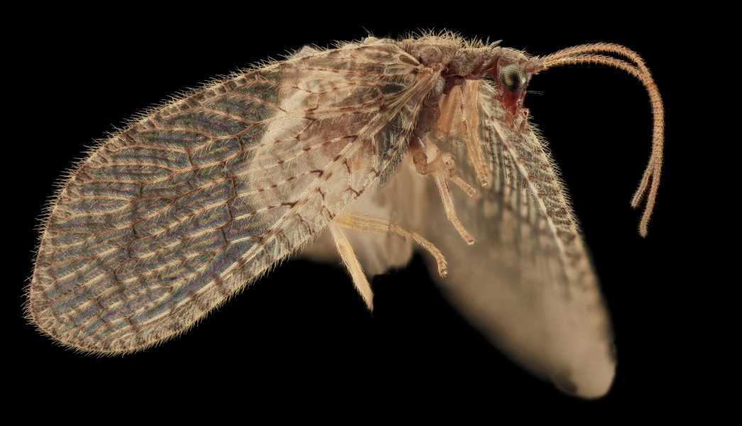 Brown Lacewing, Upper Marlboro 2013-10-18-11.33.42 ZS PMax