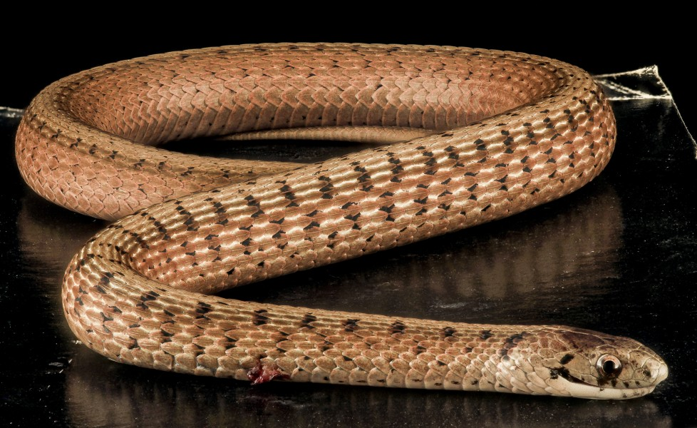 Brown Snake, U, Back, MD, PG County 2013-08-05-16.34.03 ZS PMax (9446049711)