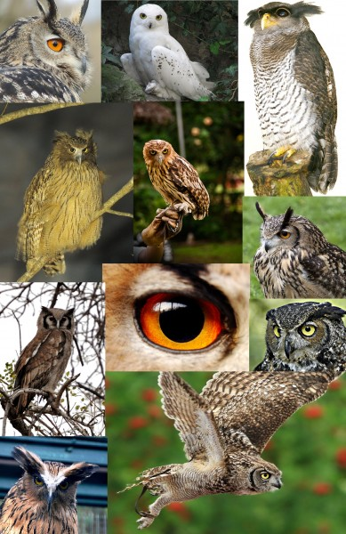 Bubo, Some owls from the genus