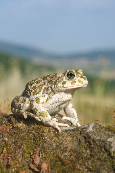 Bufo viridis female