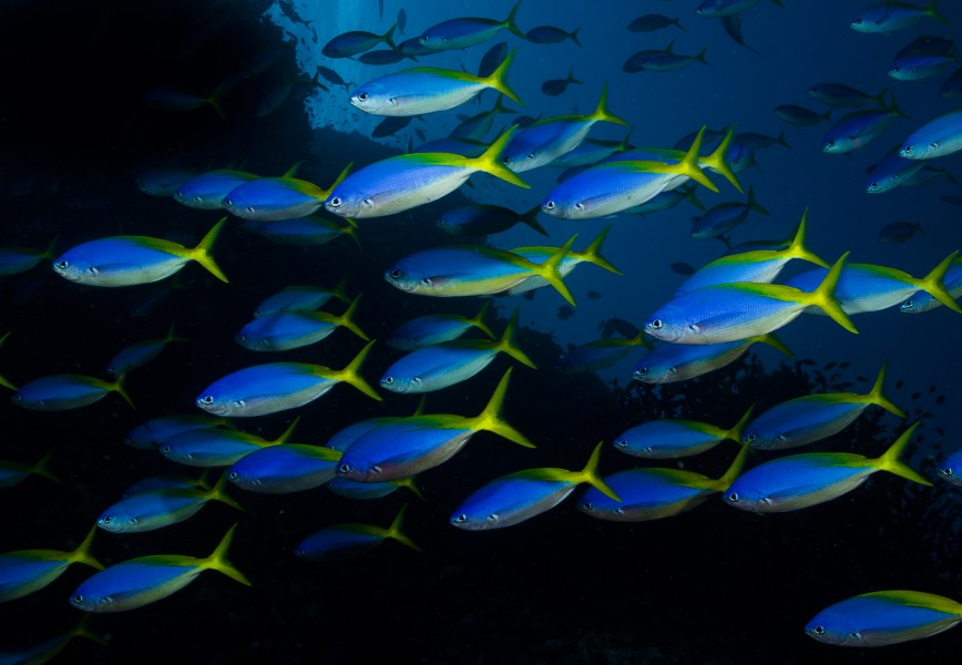 Caesio teres in Fiji by Nick Hobgood