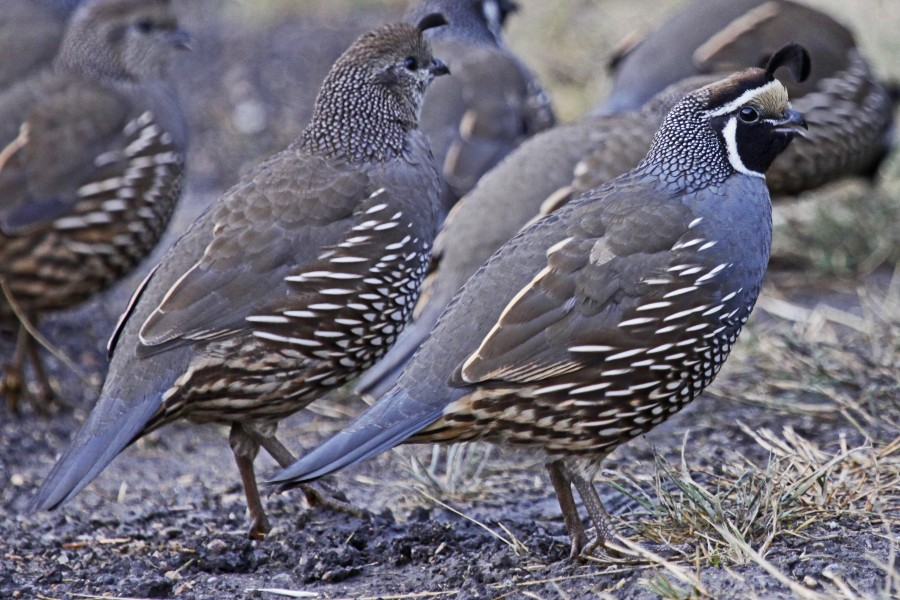 California Quail, Haynes Point Provincial Park, Osoyoos, British Columbia