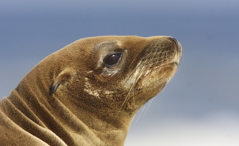 California sea lion (Zalophus californianus) (13633026324)