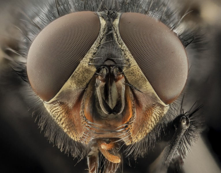 Calliphora vicina, u, Face, DC 2014-04-24 -17.46.02 ZS PMax - USGS Bee Inventory and Monitoring Laboratory