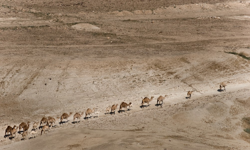 Camels in Jordan valley (4568207363)