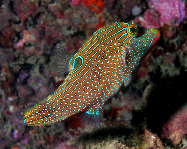 Canthigaster solandri (sharpnosed puffer, solander's toby, or blue-spotted toby)