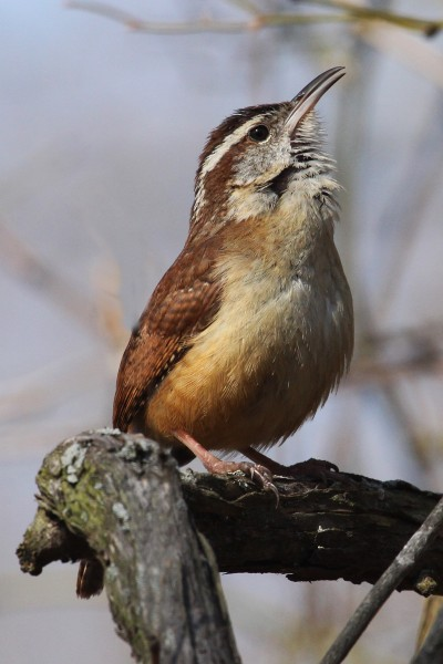 Carolina Wren - Thryothorus ludovicianus, Occoquan Bay National Wildlife Refuge, Woodbridge, Virginia
