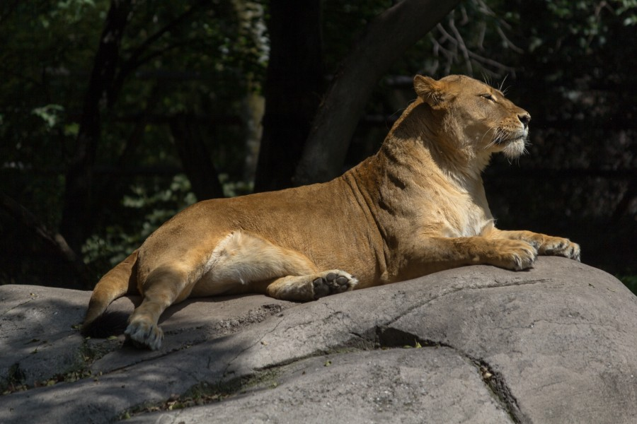 Chapultepec Zoo - African lion (06)