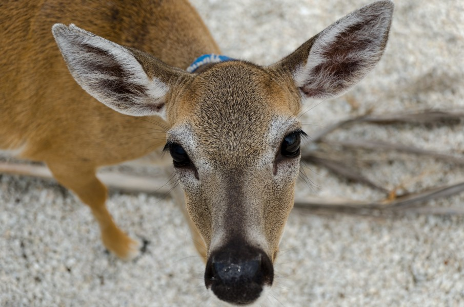 Close-Up of Key Deer