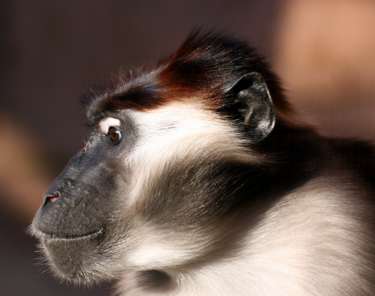 Collared mangabey, Colchester Zoo