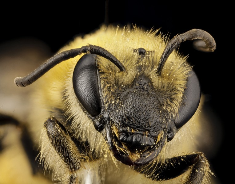 Colletes hederae, f, country unk, face 2014-08-09-18.06.18 ZS PMax (15126328515)
